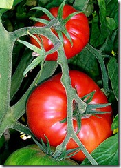 286px-Tomatoes-on-the-bush[1]